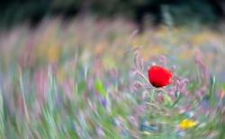 Lone red poppy in a meadow of wild flowers in the grass, with radial motion blur in the background.
