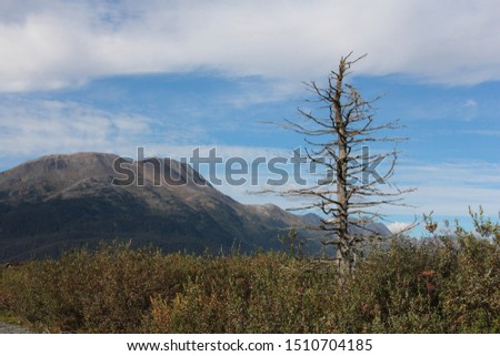 Lone Rotten Tree With Bare Branches Without Leaves Lonely and Old with Mountains in the Background in Alaska Wilderness Depressing