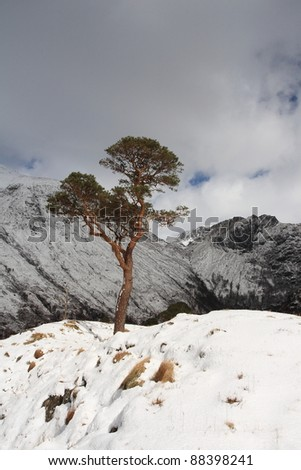 Lone Scots Pine Tree in the hills above Glen Nevis in winter.