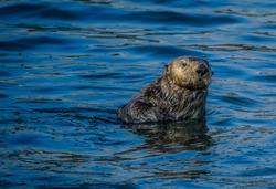 Lone Sea Otter pocking his head out of the cold Alaska Inside Passage waters