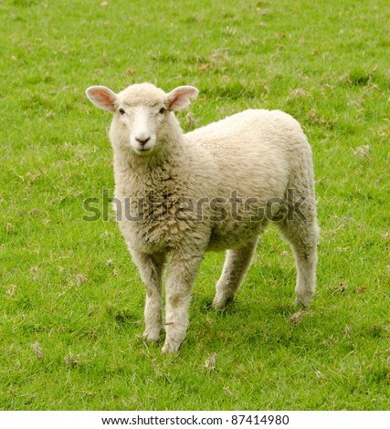 Lone sheep in a meadow looking at the camera