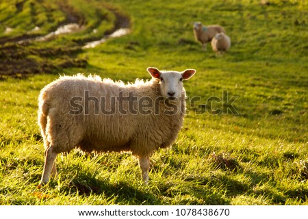 lone sheep in meadow with november sun