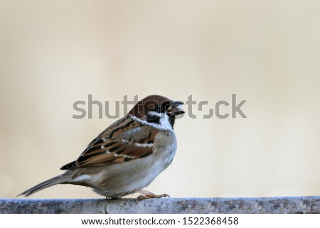 Lone sparrow glutton sits on a branch sideways to the camera on a light brown blurred background ..