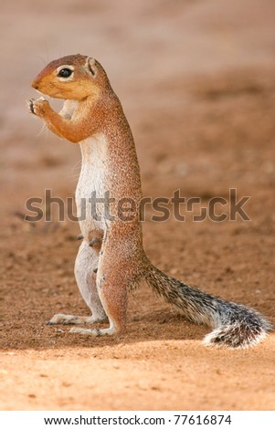 Lone Squirrel feeding on the ground, Samburu, Kenya