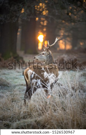 Lone Stag in the sunrise #1526530967