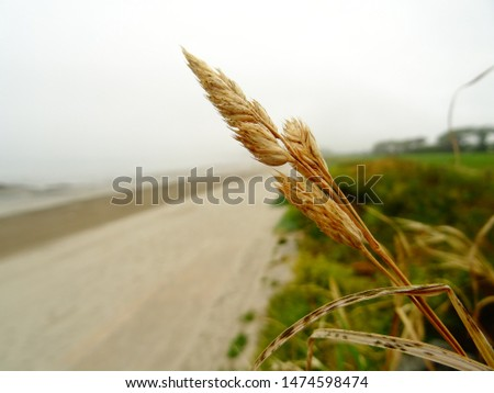 lone stem of wheat over the beach and fields of an overcast day  #1474598474