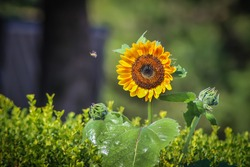 Lone sunflower with a bee buzzing around against a bokeh background.