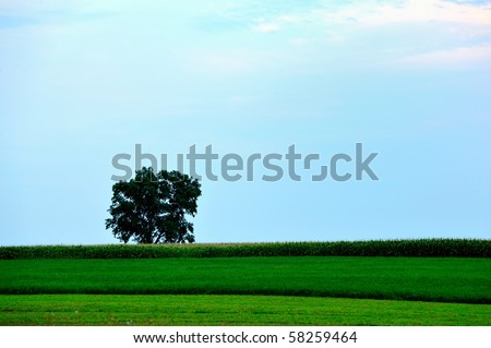 Lone tree in the middle of a corn field - stock photo