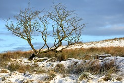 Lone tree in wild snow covered Lancashire moorland growing through remnant of old ruined stonewall with snow covered moors and winter sky behind. light by early morning winter sunlight.