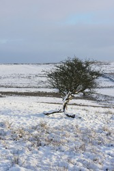 Lone tree in winter moorland landscape in Rossendale Lancashire UK. Hard frost and snow fall with snow on the tree and winter sky and landscape to the background. Early morning post dawn sunlight.
