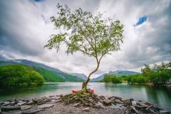 Lone Tree on Llyn Padarn lake, Snowdonia, Wales, UK