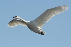Lone Trumpeter Swan in flight