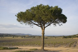 lone umbrella pine in a vineyard - french riviera, mediterranean sea