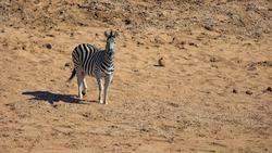 Lone zebra in a dry riverbed
