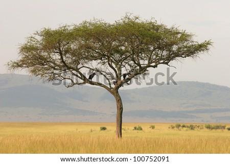 Lonely acacia tree on the savannah, Masai Mara, Kenya