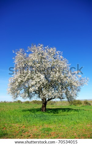Lonely  almond tree in green field at Portugal. - stock photo