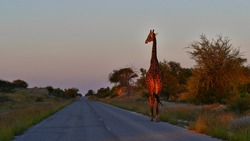 Lonely angolan giraffe (giraffa camelopardalis angolensis, namibian giraffe) walking on a road in evening light near Namutoni gate in Kalahari desert, Etosha National Park, Namibia, Africa.