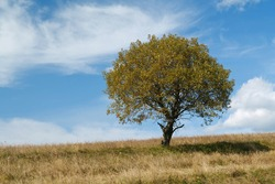 Lonely autumn yellow tree on grassland and white clouds in beautiful Carpathian Mountains
