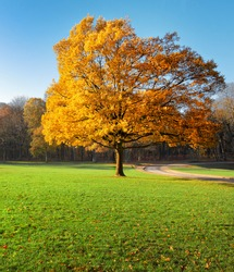 Lonely beautiful autumn tree. Autumn Landscape.