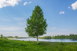 Lonely birch on the river bank. Summer sunny day