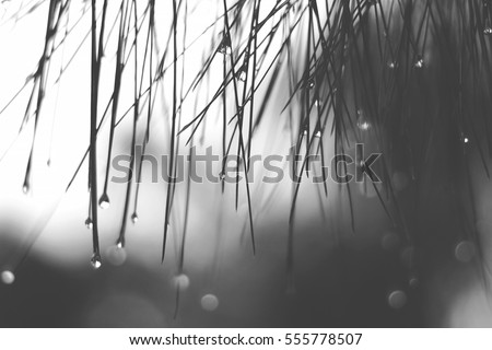 Lonely black and white mood & tone moment of drop rainy water on leaves, feel alone, sad  and broken heart background with bokeh on the back.