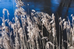Lonely blade of yellow tall dry grass branches or stalks pond / river / lake dark blue water background. Autumn cozy water landscape. Wind blowing.
