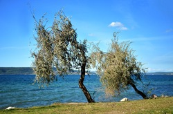 Lonely branchy oleaster trees against blue sky at seaside in fall season. Double trees at seaside. Elaeagnus angustifolia, Russian olive, Persian olive, will olive, silver berry.