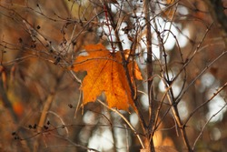 Lonely bright orange brown maple leaf lit by evening sun on a blur background in autumn park