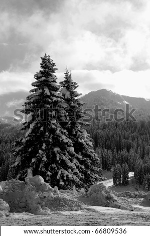 lonely christmas trees on the alpine background in monochrome
