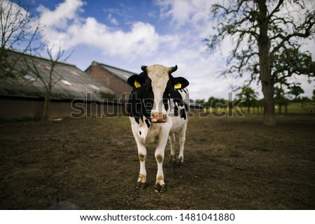 lonely cow in a lonely field