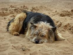 Lonely cute dog sleeps on a sand beach
