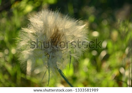 Lonely dandelion grows in the foreground. In the foreground is a bright, sunny, summer beautiful bokeh #1333581989