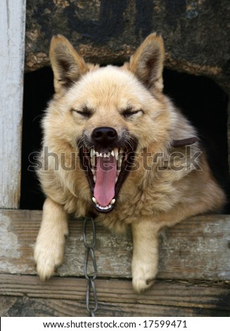 lonely dog yap from a kennel - stock photo