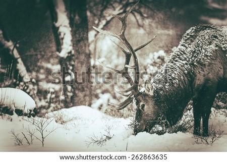 lonely elk in winter. colorado...