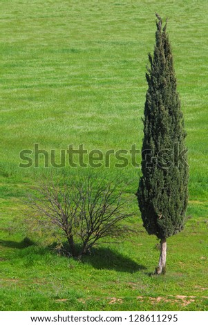 Lonely evergreen cypress and naked bush in green field green field