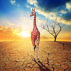 Lonely giraffe in parched country with cracked soil under dramatic evening sunset sky. Climate Change and Global warming concept.
