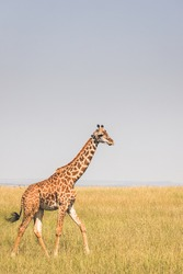 Lonely giraffe in the savannah looking for her herd