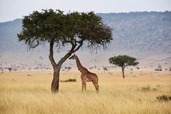 Lonely giraffe rests under an acacia tree in the Mara Triangle area of the Maasai Mara in Kenya