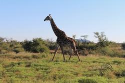 Lonely giraffe walking through savanna bushes. Madikwe Reserve, South Africa.