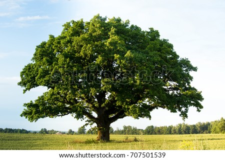 Lonely green oak tree in the field