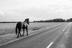 Lonely horse walks on the road. runaway horse in the countryside. black and white