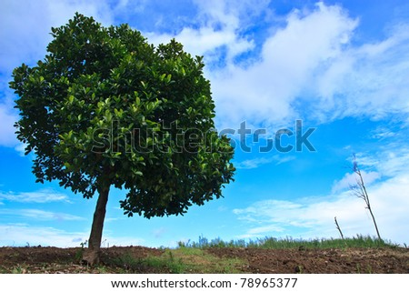 Lonely jack fruit tree in tropical field
