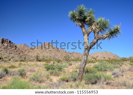 Lonely Joshua Tree