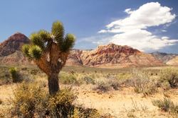 Lonely joshua tree at red rock canyon in Nevada