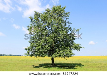 lonely linden on the rural to the meadow