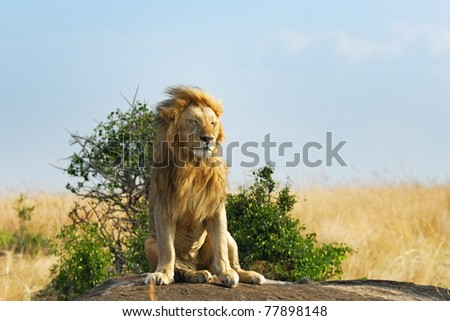 Lonely lion relaxes on the rock, Masai Mara, Kenya