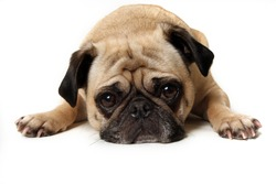 Lonely looking Pug isolated on white background.
