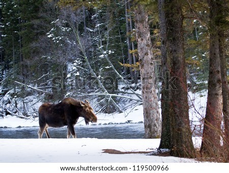 Lonely Moose