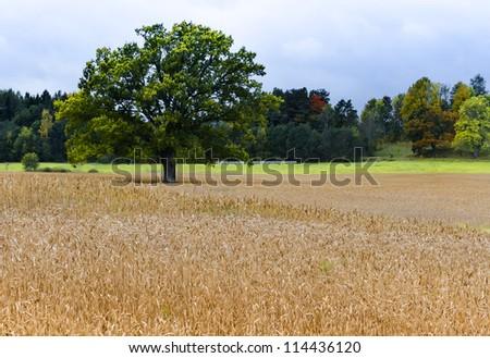 Lonely oak on barley field, Latvia, Europe