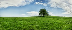 Lonely oak tree on a green grass field, extra large super high resolution panoramic stitch, lots of room suitable for adding text, copy space